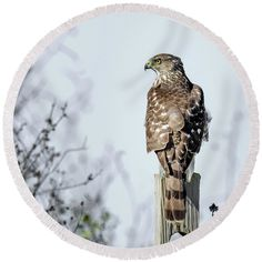"""Juvenile Coopers Hawk - Square Round Beach Towel by Debra Martz.  The beach towel is 60"""" in diameter and made from 100% polyester fabric."""