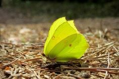 Suomen Luonto - Sitruunaperhonen muistuttaa kesän valosta ja väreistä | Suomi | Scoop.it Natural Beauty, Cute Animals, Wildlife, Butterfly, Spiders, Bugs, Nature, Drink, Beautiful