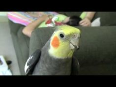 Andy Griffith Theme Song Whistle - TRAINING - Cockatiel (Nymphicus hollandicus) - YouTube