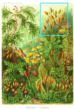polytrichum commune - Hledat Googlem