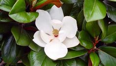 Teddy Bear® Magnolia PP13049 is a very compact native Magnolia with an upright self-branching habit. Teddy Bear® has small to medium sized 2- to 4-inch wide by 3- to 6-inch long shiny dark green leaves.