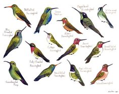 Hummingbirds of North America Birds Field Guide Style Watercolor Painting Print. $30.00, via Etsy.