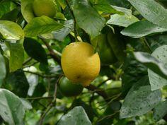 Zitronenbäume sind der Hit, vor allem wenn man Zitronen ernten kann.