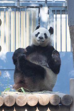Panda's Dream, Panda Bear, Cute, Animals, Bears, Pandas, Animales, Animaux, Kawaii