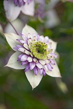 Bellasecretgarden — (via CLEMATIS 'VIENNETTA' - CONTAINER PLANT | **|...