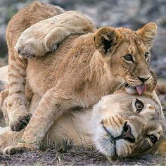 Lion cub And playing with mother. Photography by © Jamie MacArthur Animals And Pets, Baby Animals, Funny Animals, Cute Animals, Royal Animals, Lion And Lioness, Lion Cub, Big Cats, Cats And Kittens