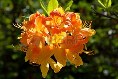 rhododendron blooming in the summer garden