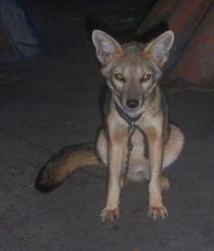Fuchs -  Brasilianischer Kampfuchs