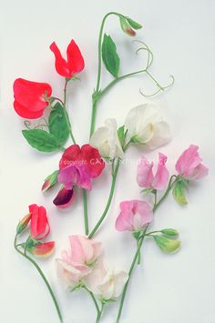 Sweet Peas Stock Photos Sweetpeas - Images | Plant & Flower Stock ...