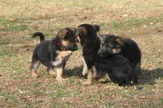I want a german puppy! Gsd Puppies, German Shepherd Puppies, Adorable Animals, Doggies, Play, German Shepherd Pups, Little Puppies, Pet Dogs, Baby German Shepherds