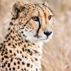 From 0–110 kph (68 mph) in 3 seconds! The cheetah is the world's fastest land animal. 📷: @sam_thenomad on Instagram #cheetah #bigcats #safari #SouthAfrica #FastestMammal
