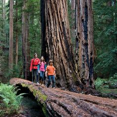 picture visitors traverse a fallen tree in Montgomery Woods State Natural Reserve near Ukiah California
