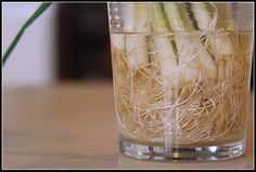 You can see in the next picture how the roots grow and tangle in the cup of water. If you want to do this at home, it's simple. The next time you have green onions, don't throw away the white ends. Simply submerge them in a glass of water and place them in a sunny window. Your onions will begin to grow almost immediately and can be harvested almost indefinitely. We just use kitchen scissors to cut what we need for meals. I periodically empty out the water, rinse the roots off and give them…