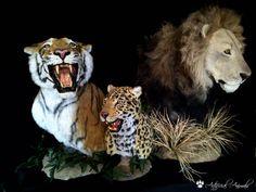 León, tigre y Jaguar artificiales. Fauna, Taxidermy, Jaguar, Mammals, Animals, Cheetah