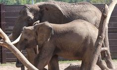 Baby elephant at Omaha zoo and is laid out for rest of the herd