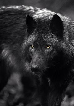 wolf wallpaper iphone images pictures becuo
