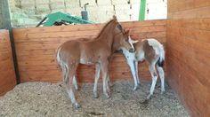 Yakima Foals