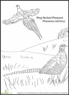 Ring Necked Pheasant And American Pasque South Dakota Bird Flower Coloring Page