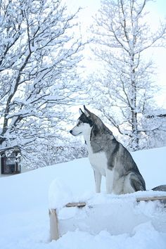 Visit link above to view our fabulous Husky gifts collection. Visit link above to view our fabulous Husky gifts collection. Wolf Husky, Siberian Husky Dog, Cute Husky, Husky Puppy, Husky Mix, Cute Puppies, Cute Dogs, Dogs And Puppies, Corgi Puppies