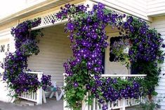 Clematis, meaning glory, or Hops vine. The picture shows Clematis, but morning glories will do well in the right zone. In my experience, Clematis takes forever to get established. Purple Clematis, Clematis Vine, Clematis Plants, Clematis Flower, Clematis Varieties, Flower Trellis, Garden Plants, Climbing Flowers, Climbing Vines