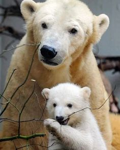Polar Bear Cub Anori making her public debut in 2012 with mother Vilma at Germany's Wuppertal Zoo. Her father Lars is the same polar bear who sired Berlin's famous polar bear Knut. Amazing Animals, Animals Beautiful, Nature Animals, Animals And Pets, Wild Animals, Zoo Animals, Baby Polar Bears, Baby Pandas, Giant Pandas