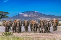"""Kilimanjaro Herd"" by Warren Weiss: A family of elephants make their way to a watering hole with Mount Kilimanjaro in the background."