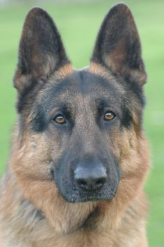 German Shepard Dog.
