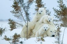 Auch sehr selten unter Eisbärenfamilien, Drillinge by milagros