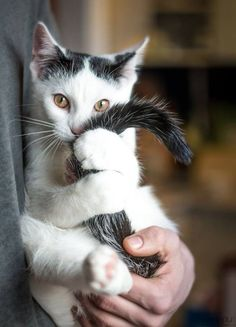 """Adorable #Cat, has parted black """"hair"""" like my kitty did"""