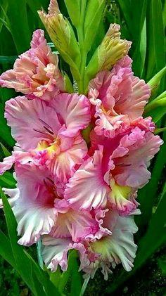 Garden Flowers - Annuals Or Perennials Gladiolas Exotic Flowers, Amazing Flowers, Pink Flowers, Beautiful Flowers, Beautiful Things, Gladiolus Flower, Gladiolus Bulbs, Gerbera, Flower Pictures