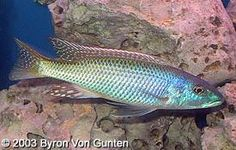 Maturing male Trout Cichlid