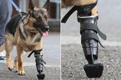German Shepherd Dog Gets Prosthetic Leg