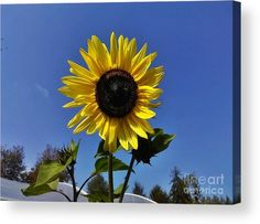 The Shining Sunflower Acrylic Print by Erika H. All acrylic prints are professionally printed, packaged, and shipped within 3 - 4 business days and delivered ready-to-hang on your wall. Thing 1, Ceramic Knobs, Acrylic Sheets, Yellow Sunflower, The Shining, Clear Acrylic, Fine Art America, Greeting Cards, Sky