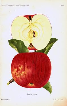 #mela Vintage 1913 Botanical Print of a #RED #APPLE  from the Yearbook US Dept of Agriculture Original Color Lithograph... Fruit Print...free shipping see details. $8,50, via Etsy.