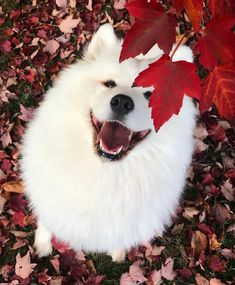 Dog Wallpaper, Dog Wallpaper for iPhone, Dogs Wallpaper, Lovely Fluffy Dog Cute Funny Animals, Cute Baby Animals, Animals And Pets, Samoyed Dogs, Pet Dogs, Doggies, Cavapoo Puppies, Maltese Dogs, Cute Puppies
