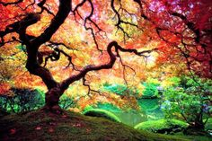 This beautiful tree is a Japanese Maple, and is in the Japanese Garden in Washington Park, Portland. Beautiful World, Beautiful Places, Beautiful Pictures, Epic Pictures, Life Pictures, Beautiful Scenery, Amazing Photos, Colorful Pictures, Amazing Places