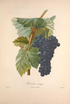 Muscat Arouya - Vol 2 - Pomologie française : - ca. mid 1800's; Smithsonian Libraries / Biodiversity Heritage Library