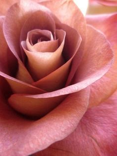 Love Rose, My Flower, Pretty Flowers, Lavender Flowers, Coming Up Roses, Arte Floral, Beautiful Roses, Beautiful Life, Red Roses