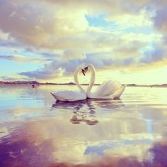 Abraham-Hicks: Focusing for the Pleasure of Alignment - Law of Attraction Resource Guide Swan Love, Beautiful Swan, Beautiful Birds, Animals Beautiful, Beautiful Images, Amor Animal, Mundo Animal, Animals And Pets, Cute Animals