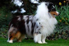 Handsome Blue Merle Showdog