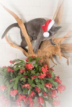 Burmese Cat, Christmas cactus, Christmas time, by Heikki Rantala
