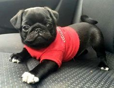 Black pug puppy in a red sweater!