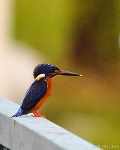 .~Blue Eared Kingfisher~.