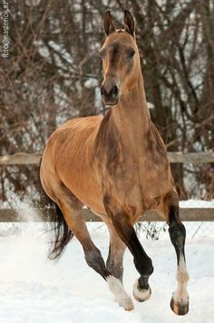 Beautiful Horse Pictures, Beautiful Horses, Golden Horse, Horse Ears, Ticket To Ride, Akhal Teke, Horse Photography, Horse Breeds, Zebras
