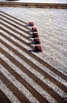 Harvesting cotton.