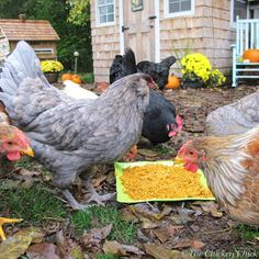 The Chicken Chick: Chickens, Pumpkin Seeds and Worms. ( a natural dewormer) Types Of Chickens, Keeping Chickens, Chickens And Roosters, Pet Chickens, Raising Chickens, Chickens Backyard, Fancy Chickens, Rabbits, Chicken Chick