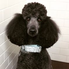Guiness had the best hair of everyone today! She's such a pretty girl and we loved spending time with her today. #edmontonvet #millwoodseastpets #standardpoodle