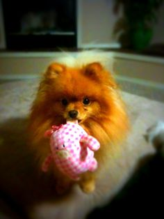 Our pomerian Mlerlin really wants you to play with his piggy toy       Training the puppy...  http://www.trainingdogsvideos.com/