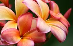 Plumeria, Flor, Naturaleza