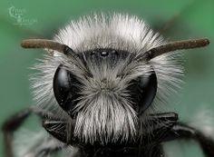 Ashy mining bee / Andrena cineraria